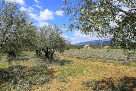 Landscape of southern France: plantation of olive trees in Provence