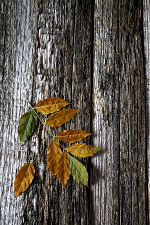 crannied: Autumn background: yellow leaves on old wooden surface