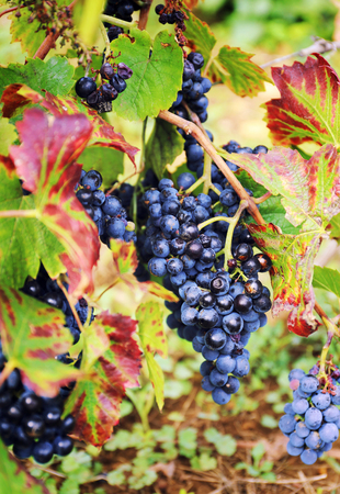 Autumn harvest: Gamay Wine Grape. Focus selective
