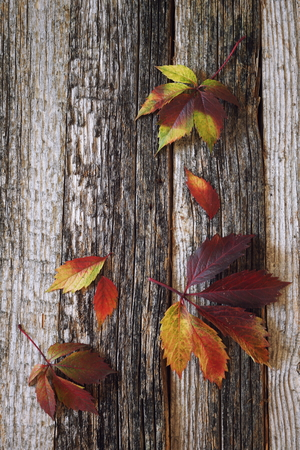 crannied: Autumn background: multicolored leaves on old wooden surface