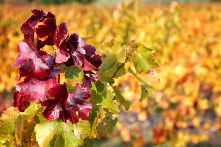 reddening: Red and yellow leafs of Autumn vineyard