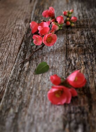 florescence: Spring background: blossoming branch on old wooden surface. Focus selective