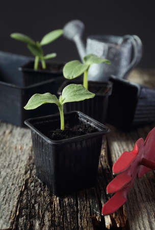 come up to: Young seedlings, transplanting at home. Toned image