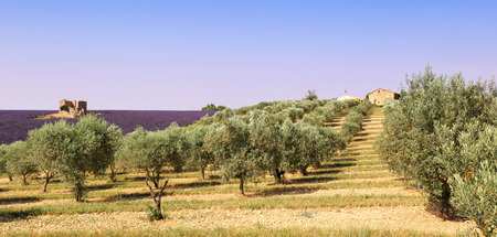 France, landscape of Provence: olive trees and lavender field