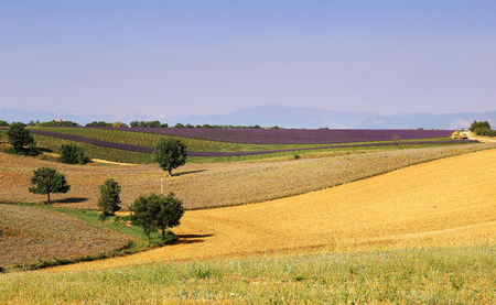 bright sky: Southern France, landscapes of Provence: Harvest lavender fields Stock Photo
