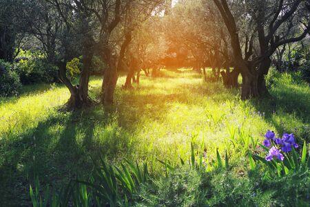 Aard van de Provence: De lente zonnige dag in de olijfgaard. afgezwakt beeld