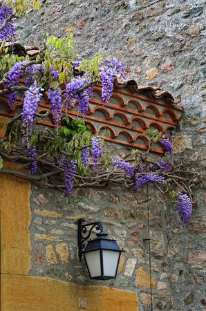 Cascading purple wisteria blossoms Stock Photo