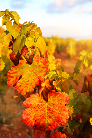France, the Beaujolais region: autumn vineyard at sunset. Focus selective