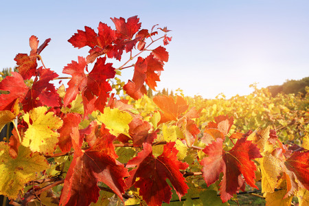 reddening: Red end yellow leafs of autumn vineyard. Toned image