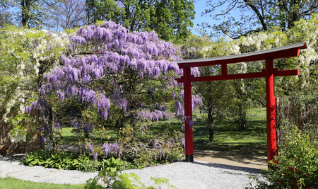 Flowering blue and white wisteria in the Japanese garden. Focus selective Stock Photo