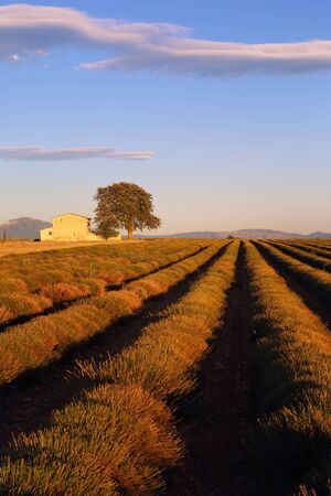 Southern France, evening in Provence, sloping lavender field at sunset