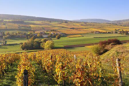 reddening: Landscape of France, the Burgundy region: autumn vineyard. Focus selective