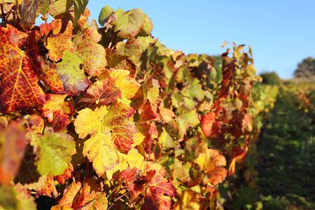 reddening: France, the Burgundy region: autumn vineyard. Focus selective