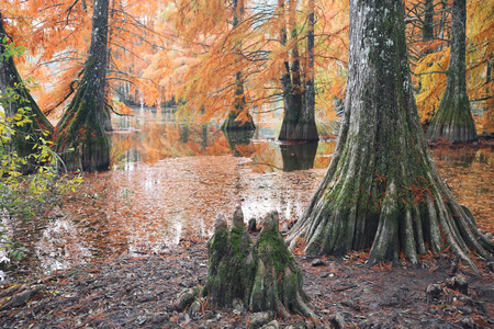 Autumn landscape. Bald Cypress Trees at Boulieu pond, France. Focus selective
