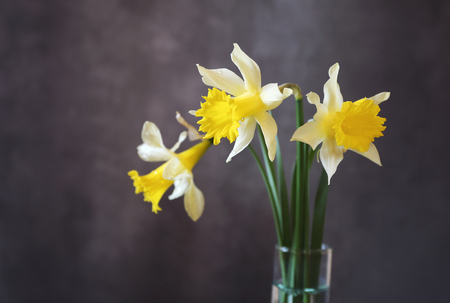 Three yellow daffodils on black background. Focus selective