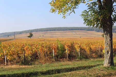 Landscape of France, the Burgundy region: autumn vineyard. Focus selective Stock Photo - 133130293