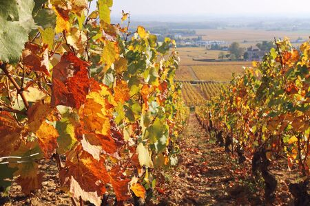 Landscape of France, the Burgundy region: autumn vineyard. Focus selective Stock Photo - 133130297