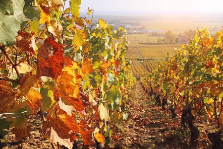 Landscape of France, the Burgundy region: autumn vineyard. Focus selective Stock Photo - 133130298