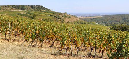 Landscape of France, the Burgundy region: autumn vineyard. Focus selective, panorama Stock Photo