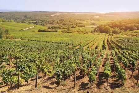 Landscape of France, the Burgundy region: autumn vineyard. Focus selective, toned image