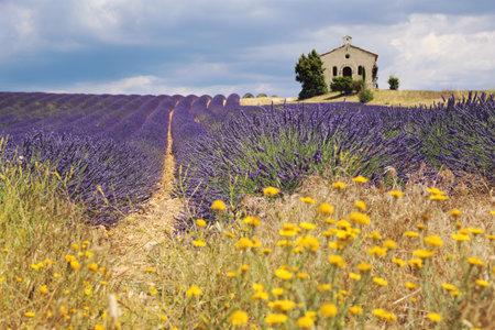 France, landscape of Provence: lavender field, plateau Valensole, focus selective