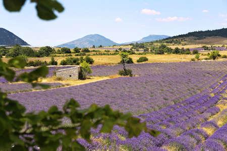 France, landscape of Provence: new lavender field, focus selective Archivio Fotografico
