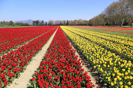 Southern France. Spring landscape. Tulip fields in Provence. Selective focus Archivio Fotografico