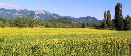 Summer French landscape. Sunflower fields and mountains. Department la Drome Provencal. Panorama