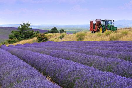 South France, landscapes of Provence: Harvest lavender fields, plateau Valensole. Focus selective
