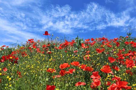 Spring motley grass. Red poppy flower and blue sky background Archivio Fotografico