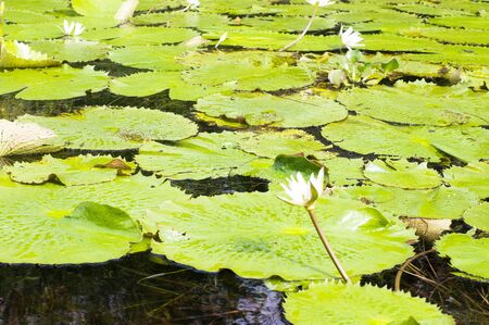 Water lily (Nymphaeaceae) with white flowers floating on the surface of the Rio Dulce river, Guatemala Banque d'images