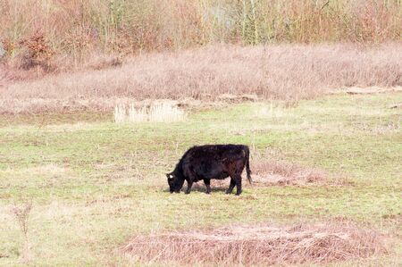 Black cow is grazing in a meadow in Arnhem, Netherlands Banque d'images