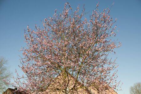 Japanese cherry tree with pink blossoms in a residential area with a clear blue sky