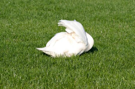 White Swan is sleeping in the grass