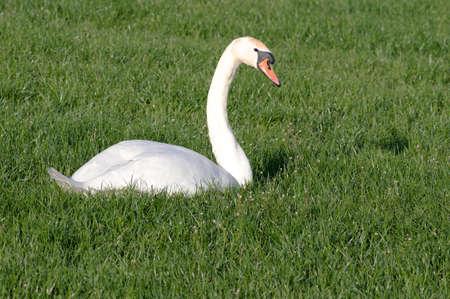 White Swan is relaxing in the grass