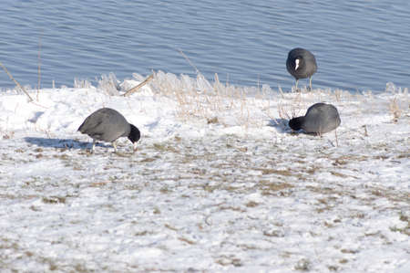 Coot ducks on a quay in the winter with snow and water in the background