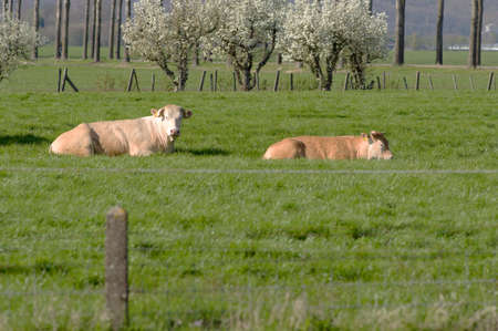 Blonde cows lie quietly in the pasture