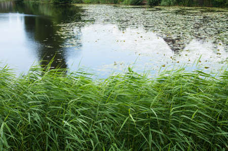 Water lily (Nymphaeaceae) floating on the surface of a pond with a green quay in the Netherlands
