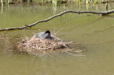 Black coot duck sitting on nest to incubate eggs