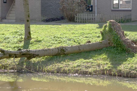 Part of a fallen tree on a quay in a residential area in Arnhem in the Netherlands