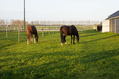 Two brown horses eats green grass in a pasture seen from behind Stockfoto