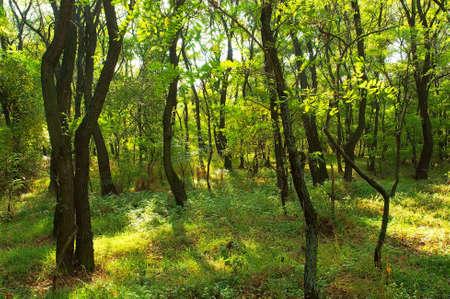 langosta: Bosque en la regi�n de Poltavska, Ucrania de la langosta del verano Foto de archivo