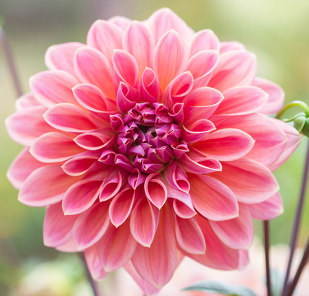 Pink Dahlia: Dahlia flower is a perennial native majority. Related species, including flowering review. Chrysanthemum and zinnia