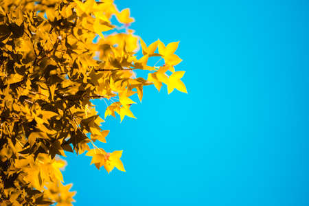 Beautiful golden yellow maple leaves on the natural background blur outdoor blurred Bokeh Abstract style 写真素材