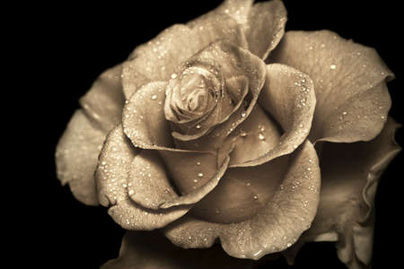An old-fashioned rose close up