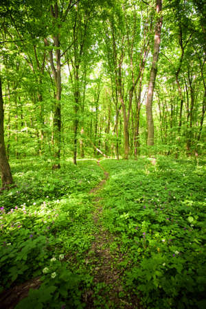 Beautiful green colored wil forest scene with high trees and footpath Stock Photo