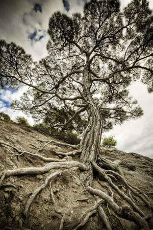 One old tree with long roots on a dry soil. Majestic pine tree