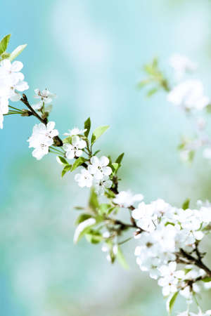 Soft nature floral background with beautiful cherry spring blossom. Low aperture shot. Stock Photo
