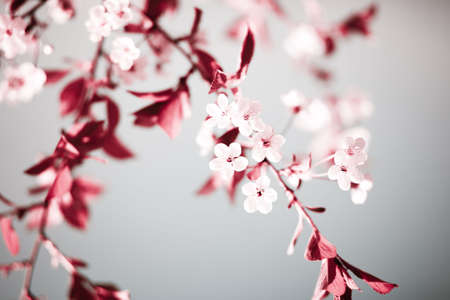 Abstract red colored soft spring background with cherry branch blossom. Low aperture shot. Stock Photo
