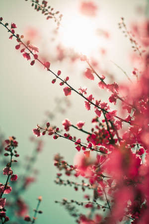 Vibrant red asian sakura background with sunlight. Low aperture shot, selective soft focus.